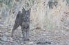 Lince ibérico (Lynx pardinus) (Elprimodeheman) Tags: hide retrato lugares alpasin animales mamiferos fotografia linceibéricolynxpardinus wildlife fauna naturaleza