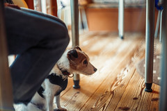 Obedience (moaan) Tags: kobe hyogo japan jp dog jackrussellterrier kinoko cafe underthetable expression wait alook sitting dof depthoffield bokeh bokehphotography leica mp leicamp type240 summarit 50mm f15 leicasummarit50mmf15 leicaphotography utata 2018