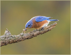 17 - Eastern Bluebird with Prey