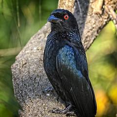 proud to be a spangled drongo (Fat Burns ☮ (on/off)) Tags: spangleddrongo dicrurusbracteatus bird australianbird farm australianfauna blackbird drongo nikond750 nature