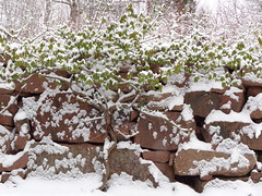 Vintergrönt (evisdotter) Tags: vintergrön evergreen plant växt winter snow patterns texture rödgranit redgranite mur wall sooc