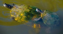Turtles at the New Orleans Zoo (sembach001) Tags: neworleanszoo zoo animals nature turtles nikon5300