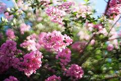 (Daniela Romanesi) Tags: 3390 recenda tree árvore flores floral pink rosa green verde folhas folha leaf leaves galhos flordaestação aoarlivre carlzeiss 50mm planar zeissplanart1450