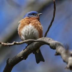 Male Eastern Bluebird (britonparker) Tags: bluebird