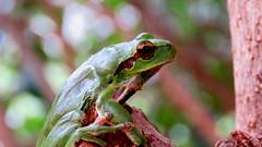 Rainette méridionale (bernard.bonifassi) Tags: bb088 06 alpesmaritimes 2018 mars canonsx60 grenouille rainette batracien rainetteméridionale