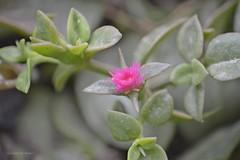 Mittagsblume ganz klein * Ice plant very small * Planta de hielo muy pequeña * Delosperma Floribundum   . _DSC8481-001