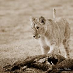 Lunch time (Michel L'HUILLIER (Asterix_93)) Tags: lion cub lunch wild boar swine nikon d810