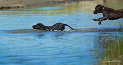 Jump! (Blazingstar) Tags: retriever flatcoated puppy swim water