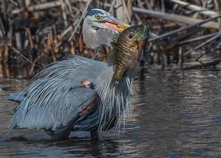 Great Blue Heron w/bream