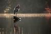Great Blue Heron (M Zappano) Tags: greatblueheron wildlife maryland marylandwildlife kayak kayaking kayakmaryland morning misty mist bird birds earlymorningmist rimlight canon100400 canon6dmkii water peacefull