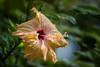 Hibiscus (Koku85) Tags: flower srilanka hibiscus plant