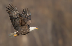 Shades Of Brown (overthemoon3) Tags: eagl eagle eaglephotography wildlife nature wisconsin wildlifephotography