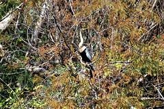 Anhinga (Female), Florida, Miami-Dade County, Everglades National Park (EC Leatherberry) Tags: anhinga femaleanhinga florida miamidadecounty evergladesnationalpark nationalparkservice nationalpark wildlife anhingaanhinga