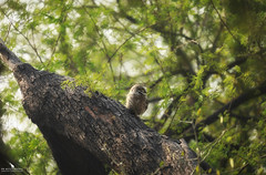 Little Spotted Owlet (pbmultimedia5) Tags: spotted owlet owl keoladeo national park india bharatpur forest grassland waterflow rajasthan pbmultimedia