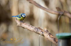 Bluetit waiting to feed (femmaryann) Tags: bluetit nature natural habitat wildlife landscape bird branch colours colourful