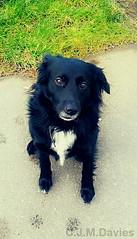 Shadow. (CrazyChrissie93) Tags: collie dog dogs black white shadow cute heppy walm puppy fishgaurd goodwick