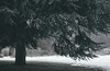 Mother tree (V Photography and Art) Tags: winter evergreen