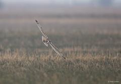 Velduil - Short-eared Owl - Asio flammeus  -6985 (Theo Locher) Tags: velduil shortearedowl hiboudesmarais sumpfohreule asioflammeus vogels birds vögel oiseaux belgie belgium copyrighttheolocher
