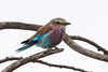 Lilac-breasted Roller (GRH7447) Tags: krugernationalpark lilacbreastedroller southafrica