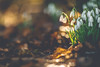 Spring is Near (*DollyLove*) Tags: snowdrop golden sun light natural bokeh canon 85mm 12 flower plant spring winter scotland macro tree leaves