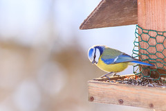 Another blue tit pose. (antti.toivanen) Tags: eurasianbluetit sinitiainen birdphotography naturephotography luontokuvaus lintukuvaus