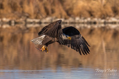 Bald Eagle makes the catch - 27 of 33