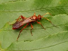 Ichneumon Wasp (treegrow) Tags: rockcreekpark washingtondc nature lifeonearth raynoxdcr250 arthropoda insect hymenoptera ichneumonidae