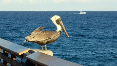 20180217_08 Brown Pelican Juno Beach Pier Florida USA (FRABJOUS DAZE - PHOTO BLOG) Tags: junobeachpier junobeach palmbeachcounty pbc fl fla florida sunshinestate usa unitedstates america amerikka yhdysvallat pier laituri atlantti meri valtameri atlantic ocean ranta beach brownpelican pelican pelikaani lintu bird