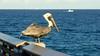 20180217_08 Brown Pelican Juno Beach Pier Florida USA (FRABJOUS DAZE - PHOTO BLOG) Tags: junobeachpier junobeach palmbeachcounty pbc fl fla florida sunshinestate usa unitedstates america amerikka yhdysvallat pier laituri atlantti meri valtameri atlantic ocean ranta beach brownpelican pelican pelikaani lintu bird