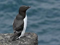 Gisela_Nagel-Fl-2455-Tordalk (giselasfotos) Tags: orkney mainland küste coast waterbird cliff birsay natur wildlife