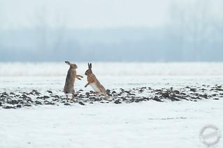 Feldhasen - European hares - Lepus europaeus