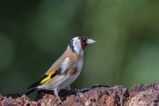 Carduelis carduelis (Cardellino, Goldfinch).