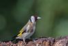 Carduelis carduelis (Cardellino, Goldfinch). (Ciminus) Tags: afsnikkor300mmf28gedvrii aves nikond500 naturesubjects uccelli ornitologia ornitology nature ciminus birds oiseaux cardellino ciminodelbufalo cardueliscarduelis goldfinch wildlife