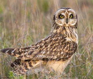 Coruja do Nabal (asio flammeus) | Shorted-eared-Owl | Sumpfohreule | Búho Campestre | Hibou des marais |  Gufo di palude