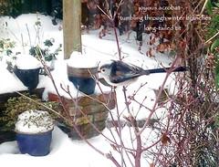 A snowy day in Devon (floots in devon) Tags: poem poetry haiku modernhaiku garden snow winter wildlife longtailedtit devon birds