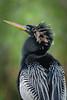 05 17a 29773.jpg (mpluzier) Tags: anhingidae floridabirds anhingaanhinga waterbirds pointedbill darters birds everglades floridaparks breedingplumage anhinga anhingatrail nationalparks