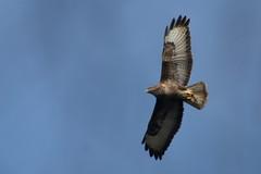 buse variable ( Buteo buteo ) Brech 180310c2 (papé alain) Tags: oiseaux rapaces accipitridés busevariable buteobuteo commonbuzzard brech morbihan bretagne france