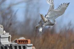 DSC_0141_edit (Hanzy2012) Tags: toronto ontario wildlife canada bird nikon d500 afsnikkor500mmf4difedii owl snowyowl buboscandiacus
