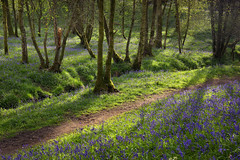Looking Forward to the Bluebells (Alan MacKenzie) Tags: bluebells forest woodland spring light trees flowers stream nature