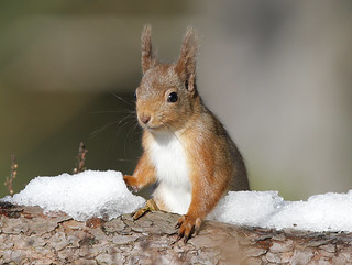 RED SQUIRREL ....Scotland....Click on Image for more detail.