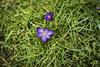 False Dawn (Reckless Times) Tags: crocus purple flowe yellow green grass pov above fromabove garden srping sprung false dawn