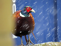 A Plucky Garden Visitor Braving The Snow (Ian156) Tags: cockpheasant snow
