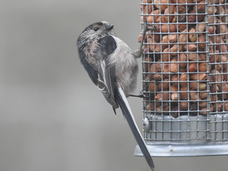 Long tailed Tit lunchtime