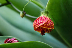 Lanterna-chinesa (Johnny Photofucker) Tags: flor fiore flower lightroom planta plant pianta rosso vermelho verde green inseto insetto insect lanternachinesa 70200mm