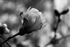 Life Force (B&W) (Explored) (MonicaIva Photography) Tags: usa nature closeup blackwhite monochrome white flower magnolia