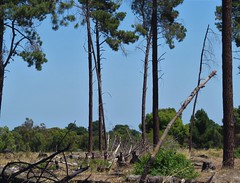 Western Grey Kangaroos (tom_2014) Tags: animal tree plantation kangaroo marsupial macropod westerngreykangaroo greykangaroo macropus fuliginosus macropusfuliginosus mammal wild wildlife ecology biodiversity species mob kangaroomob pine nature perth australia australian westernaustralia wa australianwildlife