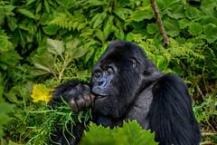 Mountain gorilla (Visit Rwanda) Tags: rwanda tourism mountain gorilla kinigi silverback reamarkable volcanoes volcanoe national park