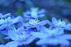 blue flowers (C-Smooth) Tags: flowers hepaticanobilis anemone macro nature