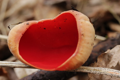 Scarlet Elfcup - Sarcoscypha austriaca