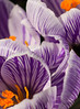 Pillow of Petals (Katrina Wright) Tags: dsc66764 crocus pickwickcrocus purple stripes white petals flowers macro spring yellow stamen